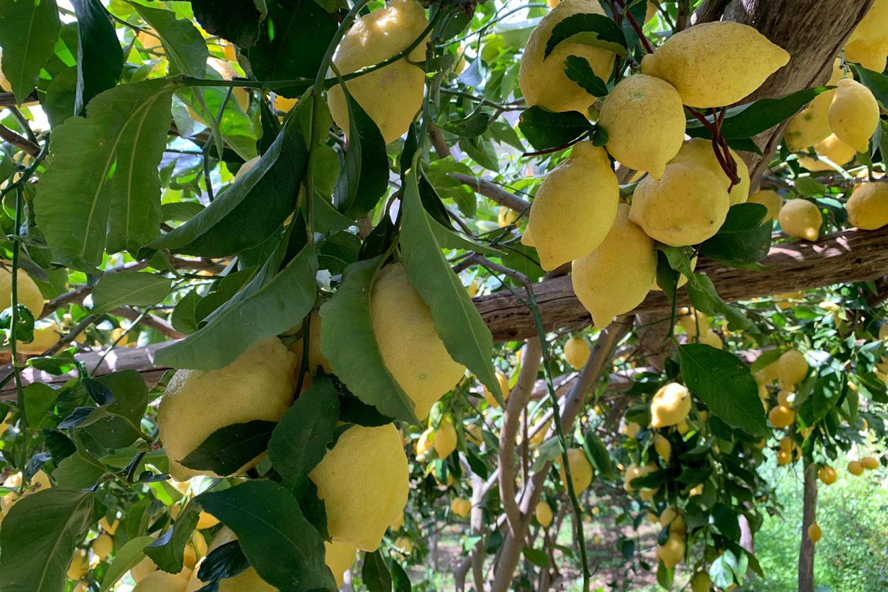 lemon-tour6